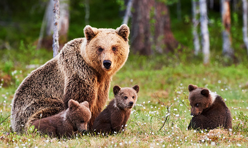 Female bear with her three cubs