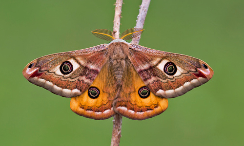 A Small Emperor Moth on a branch