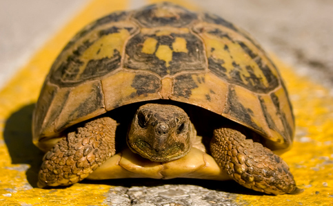 Turtle standing between yellow lines of a road