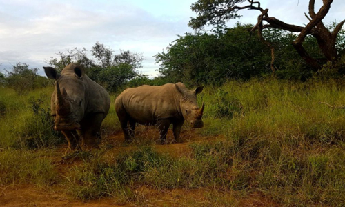 Two Southern white rhinos on an undisclosed protected area