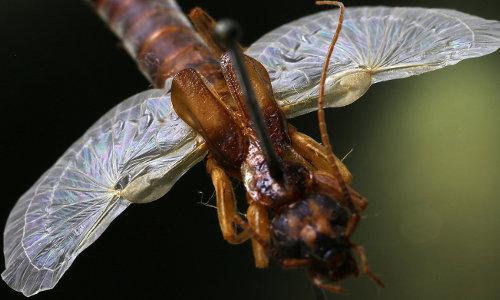 earwig wings