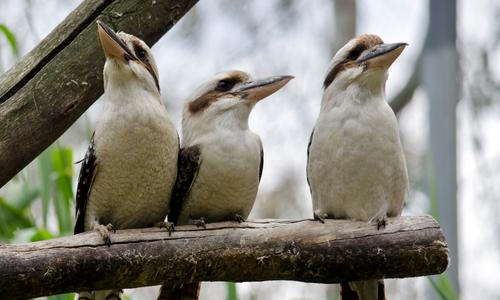Three kookaburras perched on a tree branch
