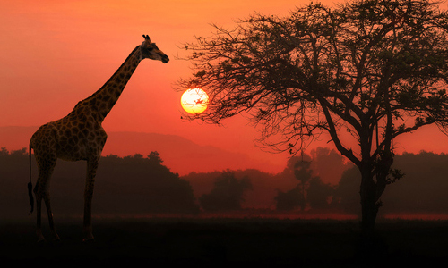 A giraffe standing in front of a sunset