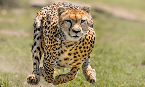 A cheetah caught mid-run