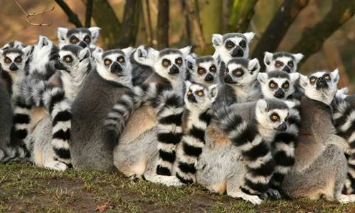 Lemurs at the Duke Lemur Center.