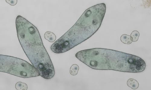 Microscopic image of paramecium