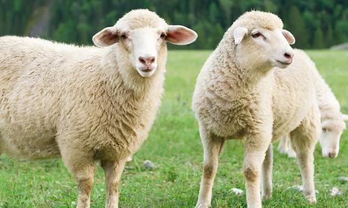A pair of sheep