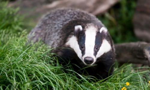 A badger on grass