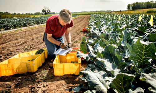 Professor Thomas Bjorkman studies broccoli in a field
