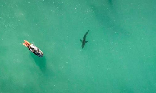 a shark viewed from above water with a drone