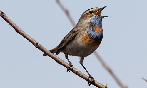 Closeup of bird on a reed