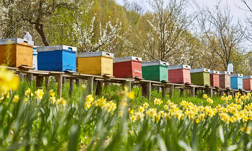 Row of beehives in an orchard