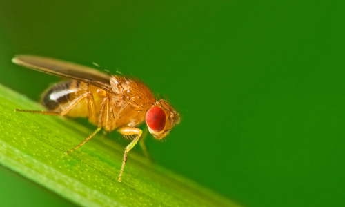 Close up of a fruit fly on leaf