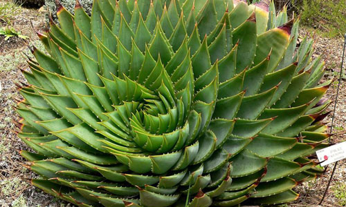 The spiral pattern of an Aloe polyphylla plant