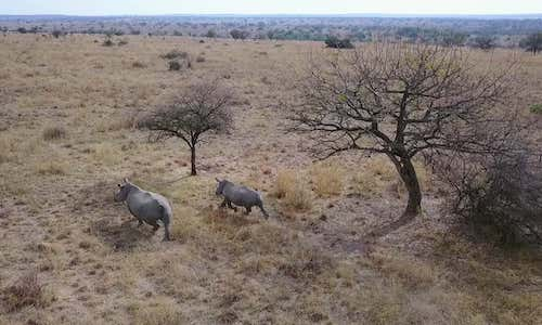 A bird's eye view of rhinos roaming a reserve.
