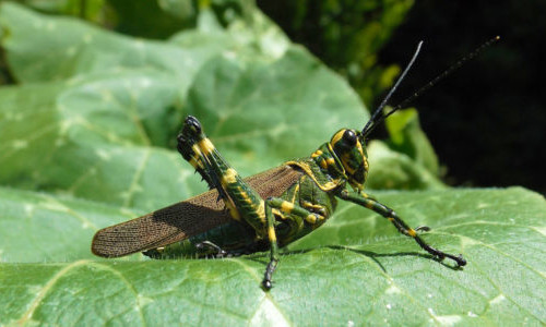 Picture of locust