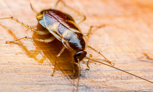 Cockroach on a wooden floor